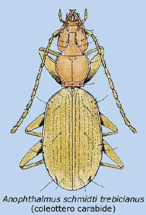 anophathalmus shmidti